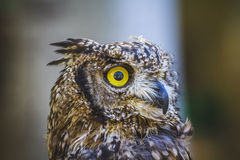 Raptor, beautiful owl with intense eyes and beautiful plumage Stock Photography