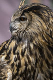 Raptor, Beautiful owl with plumage of earthy colors, has an inte Royalty Free Stock Photography