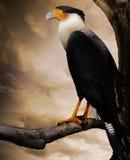 Raptor bird. A crested Florida caracara raptor bird on a tree limb with the soft glow of an evening sky Stock Images