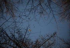 Raptor bird flying with other birds. Buzzard lit by the sun flying with other birds Stock Photo
