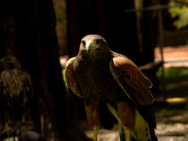Raptor bird on perch. A raptor bird on perch highlighted by the sunlight Stock Images