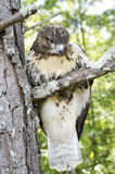 Raptor Bird of Prey, Juvenile Red Tailed Hawk. Red-tailed Hawk, Buteo jamaicensis, North American Raptor bird of prey. Close up portrailt profile of beak Royalty Free Stock Photos