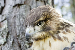 Raptor Bird of Prey, Juvenile Red Tailed Hawk. Red-tailed Hawk, Buteo jamaicensis, North American Raptor bird of prey. Close up portrailt profile of beak Stock Images