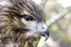Raptor Bird of Prey, Juvenile Red Tailed Hawk profile. Red-tailed Hawk, Buteo jamaicensis, North American Raptor bird of prey. Close up portrailt profile of beak Royalty Free Stock Photo