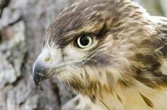 Raptor Bird of Prey, Juvenile Red Tailed Hawk profile. Red-tailed Hawk, Buteo jamaicensis, North American Raptor bird of prey. Close up portrailt profile of beak Stock Images