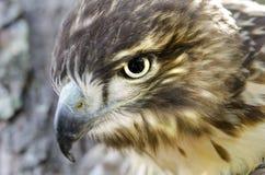 Raptor Bird of Prey, Juvenile Red Tailed Hawk profile. Red-tailed Hawk, Buteo jamaicensis, North American Raptor bird of prey. Close up portrailt profile of beak Royalty Free Stock Photography