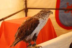 Raptor. Bird of prey at a medieval fair royalty free stock photo