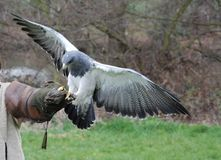 Raptor, Bird, Training, Falconry Stock Image