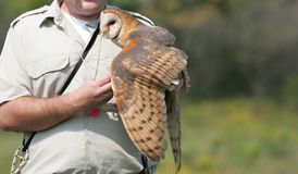 Raptor display. Barn owl being held by trainer at raptor display Stock Images
