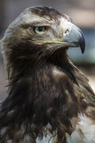 Raptor, eagle brown plumage and pointed beak Stock Photography