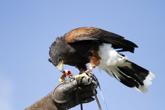 Raptor on the Glove. Feeding female Harris Hawk on falconer's glove royalty free stock photos