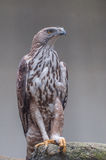 Raptor. A Great raptor with right enormous hunting legs Stock Photography