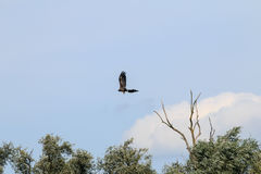 Flying White-tailed eagle near river IJssel, Holland Stock Photo