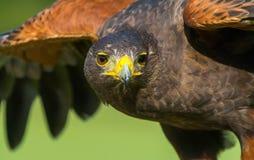 Raptor majestueux en vol images libres de droits