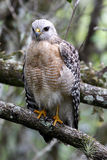 A raptor perched in the wild Royalty Free Stock Photos