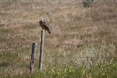 Juvenile Swainson& x27;s Hawk perched. Raptor Swainson& x27;s Hawk on fence post Stock Images