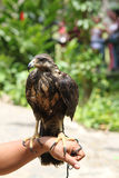 Raptor trained Cuban arm of falconer Royalty Free Stock Image