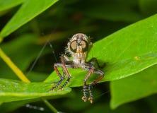 Raptorial komarnica 15 (Asilidae) Obraz Royalty Free