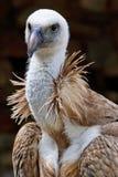 Raptors Royalty Free Stock Image