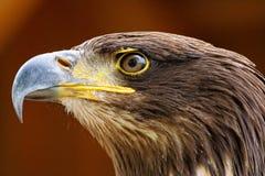 Raptors Stock Image