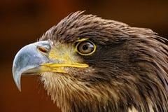 Raptors Stock Images