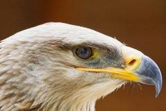Raptors Stock Photo