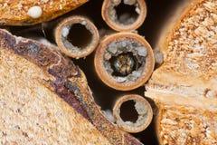 Rapunculi solitaire masculin d'Osmia d'abeille photo stock