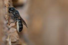 Rapunculi solitario femenino de Osmia de la abeja de albañil Fotografía de archivo libre de regalías