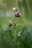 Raramente orquídea de abeja - holoserica del ophrys en hierba verde Fotografía de archivo