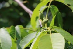 Rare épique d'amour bleu de libellule de nature de merveille Photo libre de droits