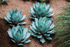 Rare agave parryi var.hauchuceninsis Royalty Free Stock Photo