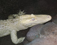 A Rare Albino American Alligator Lurks at Night Royalty Free Stock Photo