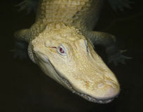 A Rare Albino American Alligator Lurks at Night Stock Photography