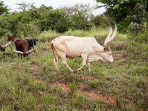 Free Rare Albino Ankole Watusi Bull With Big Horns Grazing In The Field Together Royalty Free Stock Photography - 76481237
