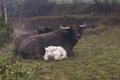 Rare albino domestic asian water buffalo calf and its parents stock images