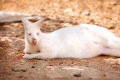 Rare Albino Kangaroo Royalty Free Stock Photos