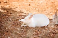 Rare Albino Kangaroo Royalty Free Stock Image