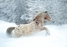 Rare altai breed appaloosa horse runs in the snow. The rare altai breed appaloosa horse runs in the snow Stock Photography
