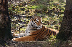 Rare Amur Tiger Royalty Free Stock Image