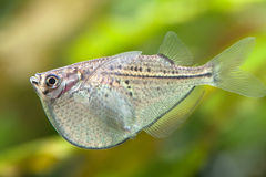 Rare aquarium fish swimming in freshwater yank Royalty Free Stock Photo