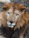 Rare Asiatic lion, Kerala, India Royalty Free Stock Images