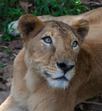 Rare Asiatic lioness, Kerala, India Royalty Free Stock Photos