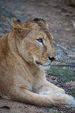 Rare Asiatic lioness, Kerala, India Royalty Free Stock Photography