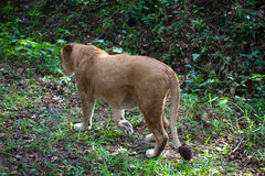 Rare Asiatic lioness in the national Park Nayyar Dam, Kerala, India Stock Photo