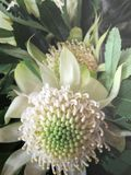 Rare Australian Native White Waratah Flower 1 Stock Photography
