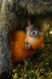 Newborn baby orange silvered leaf monkey cub feeding from his mo stock images