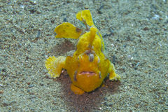 Rare baby yellow frogfish off Padre Burgos, Leyte, Philippines Stock Photos