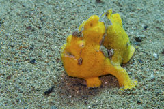 Rare baby yellow frogfish off Padre Burgos, Leyte, Philippines. The diving around the small but vibrant town of Padre Burgos, is a real paradise for divers and Royalty Free Stock Photo