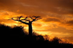 Sunset baobab. Rare baobab Adansonia suerezensis plants only on north Madagascar stock image