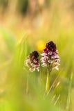 Rare Bavarian wild Orchid Royalty Free Stock Photo
